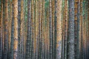 Märkischer Kiefernwald